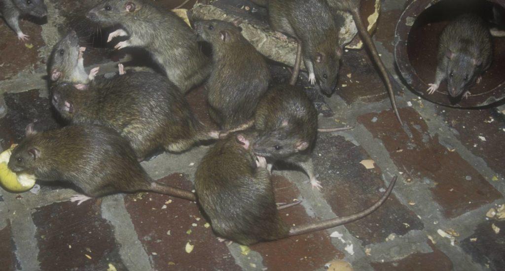 уничтожение крыс в Октябрьском